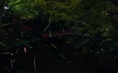 【6/9~6/17】ホタル見学送迎の御案内